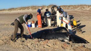Są bliskie wyginięcia, morze kilka dni temu wyrzuciło jedno ciało na brzeg