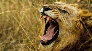 Poszli na polowanie. Jednego z nich zabił słoń, a ciało pożarły lwy