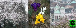 """""""Wiosna, wiosna, wiosna ... ach to Ty"""". W Polsce kwitną kwiaty, w Waszyngtonie wiśnie"""