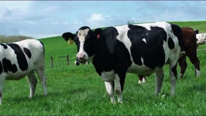 Krowa, która nie uczula. Powstała na antypodach