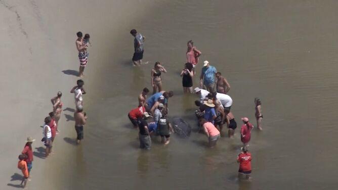 Woda wyrzuciła je na brzeg. <br />Manatom pomogli ludzie